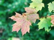 Vermont Leaf